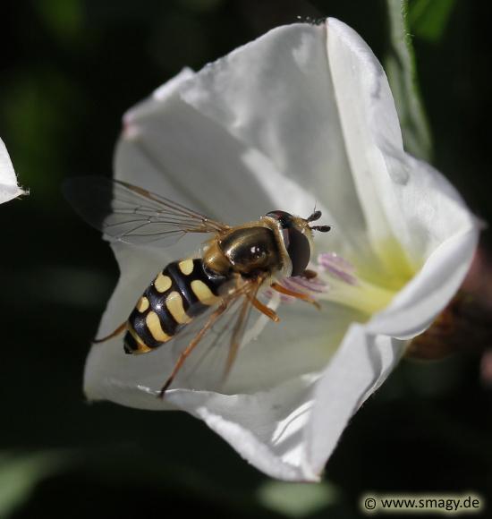 Gemeine Feldschwebfliege, Eupeodes corollae
