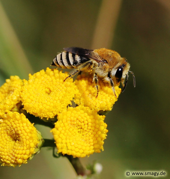 Rainfarn-Seidenbiene, Colletes similis