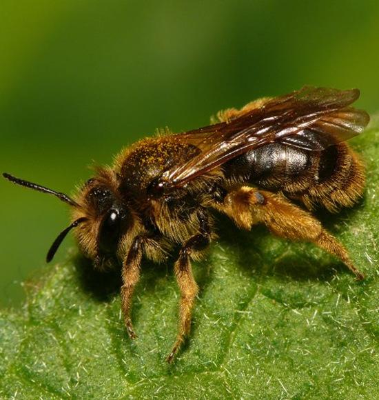 Gewöhnliche Dörnchensandbiene, Andrena humilis