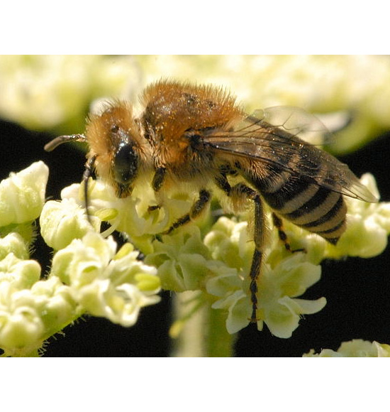 Rainfarn-Seidenbiene (Colletes similis)