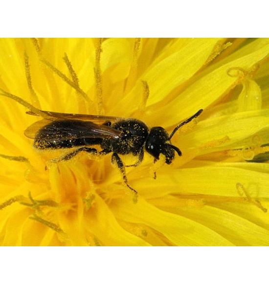 Braunfühler-Schmalbiene, Lasioglossum fulvicorne