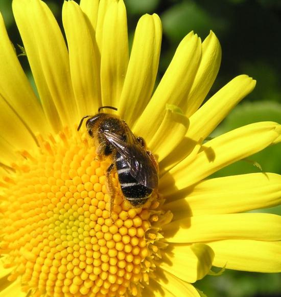Rotbeinige Furchenbiene, Halictus rubicundus