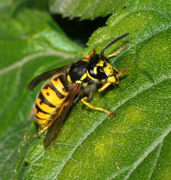 Deutsche Wespe, Vespula germanica