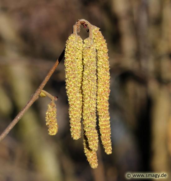 Smagy Das Pflanzen Portal Gewhnliche Hasel Corylus