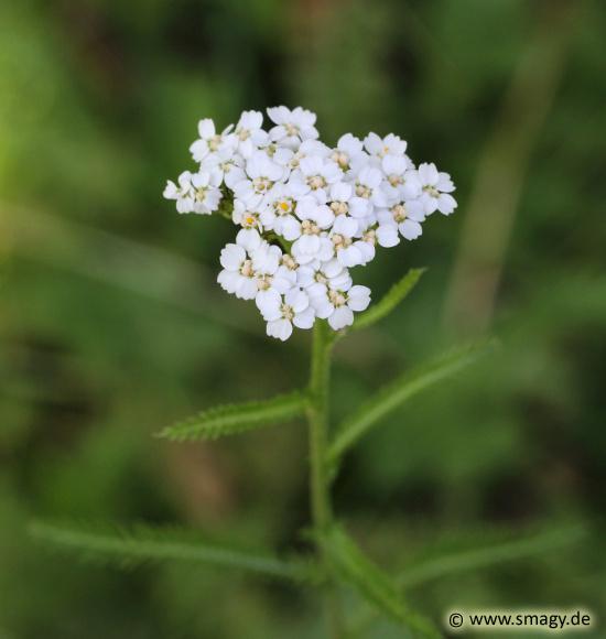 Smagy Das Pflanzen Portal Gemeine Schafgarbe Achillea
