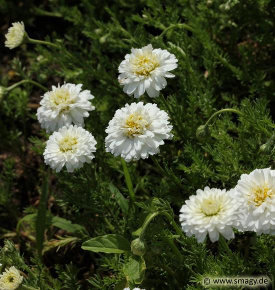 Atemberaubend Smagy - Das Pflanzen-Portal - Römische Rasenkamille (Chamaemelum @EC_98