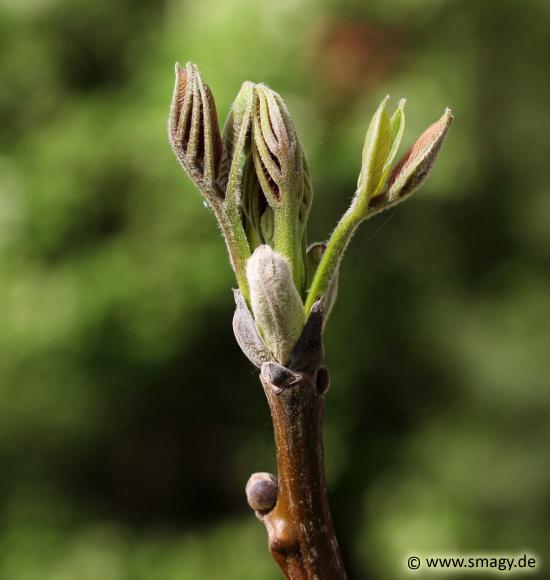 walnussbaum pflanzen an einem walnussbaum wachsen sowohl weibliche als auch mnnliche grne blten. Black Bedroom Furniture Sets. Home Design Ideas