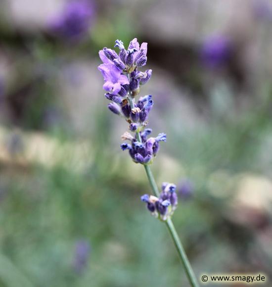 Gut gemocht Smagy - Das Pflanzen-Portal - Echter Lavendel (Lavandula angustifolia) ZI36