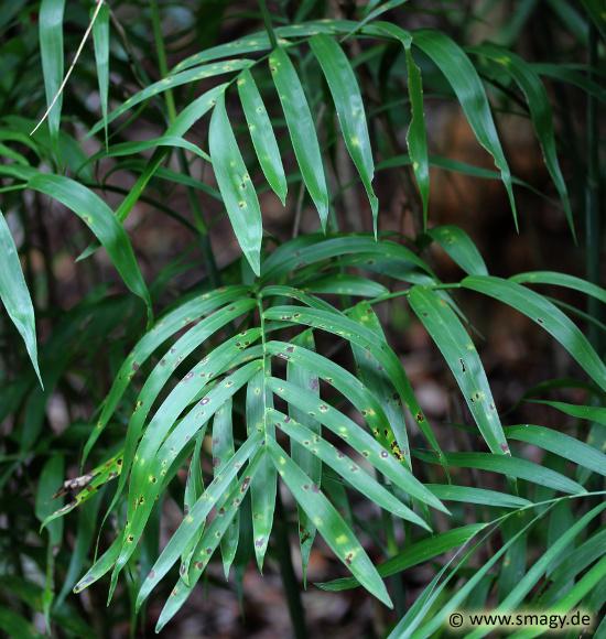 Smagy Das Pflanzen Portal Seifriz Bambuspalme Chamaedorea