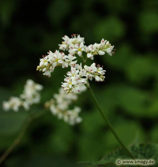 smagy das pflanzen portal baumspinat fagopyrum cymosum. Black Bedroom Furniture Sets. Home Design Ideas