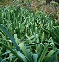 smagy das pflanzen portal mohrr be daucus carota ssp. Black Bedroom Furniture Sets. Home Design Ideas
