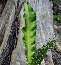Pheasants Tail, Anthúrium schlechtendalii Kunth,